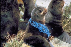 Young seal with plastic netting around its neck