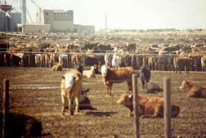 Beef cattle are raisen in feedlots on huge factory farms